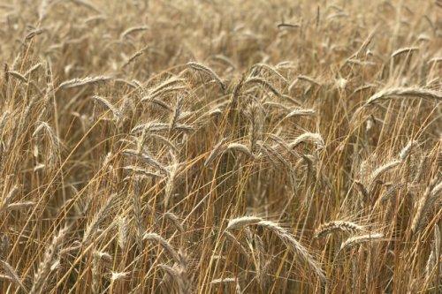Житель Марий Эл отработает 150 часов за кражу 100 килограммов яровой пшеницы