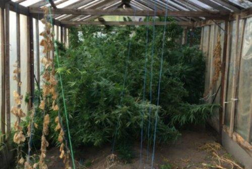 Житель Медведевского района выращивал в теплице огурцы, помидоры и коноплю
