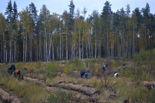 Общий запас семян сосны и ели полностью обеспечивает посадку леса на ближайшие три года