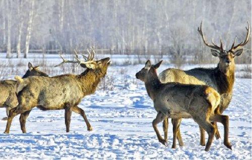 В охотхозяйствах Марий Эл разводят одну из разновидностей благородного оленя