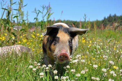 На территории Марий Эл введены карантин по африканской чуме свиней и запрет охоты
